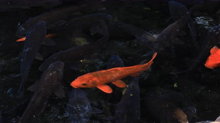 obyčejný : Swimming carp in the pond