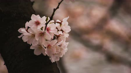 ブルーム : Cherry blossom at the park daytime cloudy closeup