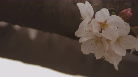 Вишневое дерево : Cherry blossom at the park daytime cloudy closeup