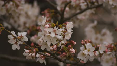 pink background : Cherry blossom at the park daytime cloudy closeup