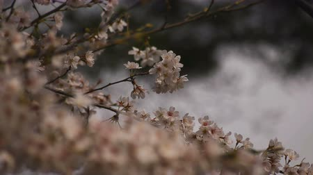 nisan : Cherry blossom at the park daytime cloudy Stok Video