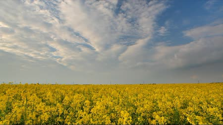 repce : Canola rape yellow field, time lapse