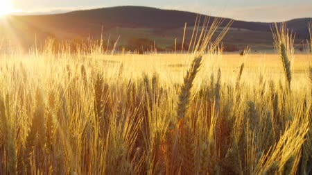 pszenica : Wheat field - motion video