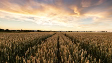 Wheat field at sunset - Time lapse