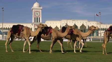 İslamiyet : DOHA, QATAR - 14 FEBRUARY 2018: Camels on the Green Grass Nearby the Emiri Diwan - Qatarian Emir Residence at Souq Waqif District, Old City, Doha, Qatar.