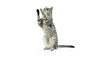 isolado no branco : Cat clapping paws, asking for a snack Vídeos