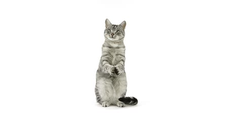 grey cat : Cat clapping paws, asking for food, looks away disappointed