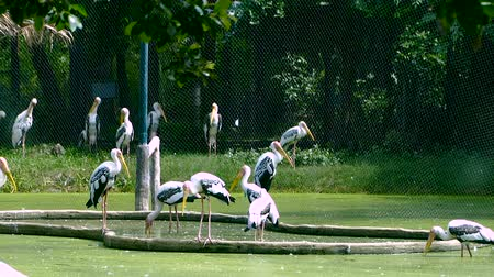 zoolojik : Painted Stork or Mycteria leucocephala birds is standing on the pond Stok Video