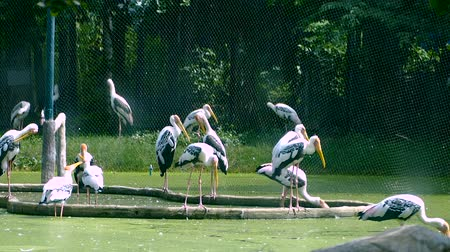 migração : Painted Stork or Mycteria leucocephala birds is standing on the pond Vídeos