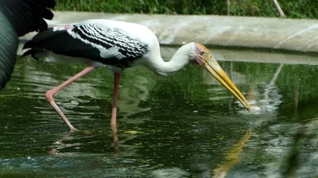 vida selvagem : Painted Stork or Mycteria leucocephala birds in the pond