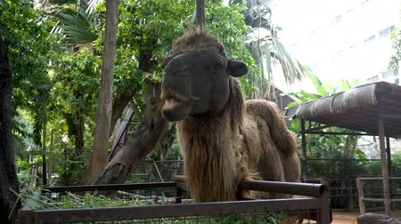 bactrianus : Close-up of Bactrian camel eating grass. The Bactrian camel has two humps on its back.