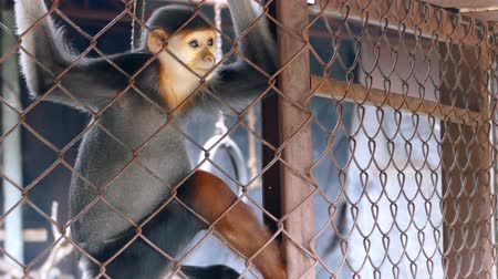 заключенный : Sad Red-shanked douc langur sit and looking out through the cage. Стоковые видеозаписи