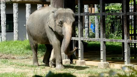 marfim : Thai elephant walking with one foot tied to a chain
