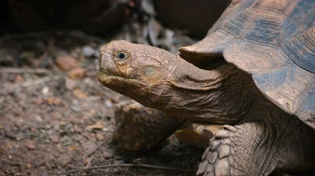 Close-up of African Spurred Tortoise or sulcata tortoise resting in the garden