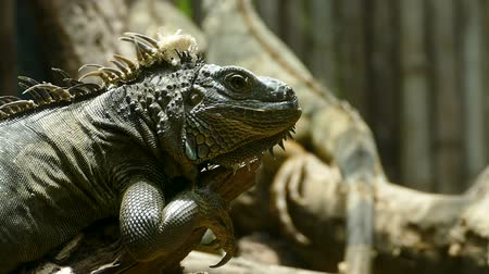 jaszczurka : Portrait close-up of Green Iguana reptile in nature, exotic wild dragon