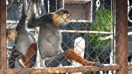 Two red-shanked douc langur (Pygathrix nemaeus) sit and looking out through the cage.
