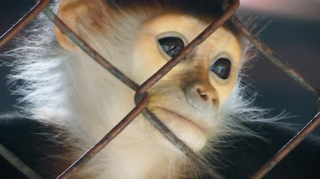 Sad Red-shanked douc langur sit and looking out through the cage. Vídeos