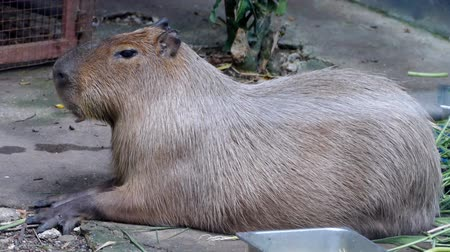 býložravý : The giant brown capybara ( Hydrochaeris hydrochaeris ). Capybara is the worlds largest rodents.
