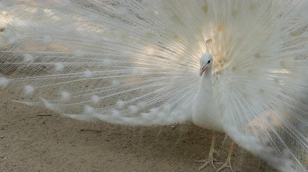 paw : Close-up of beautiful white peacock with feather out Wideo