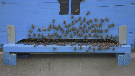 bees cleaning a wooden apiary entrance