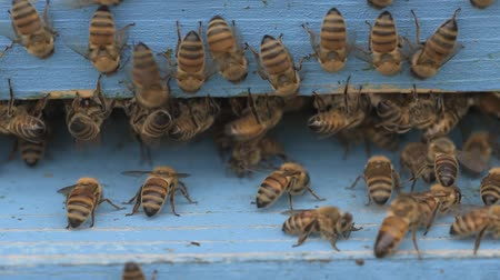 itaat : bees cleaning a wooden apiary entrance