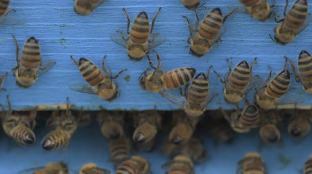 worker bees : bees cleaning a wooden apiary entrance