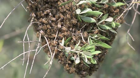 Swarming bees on an olive tree branch