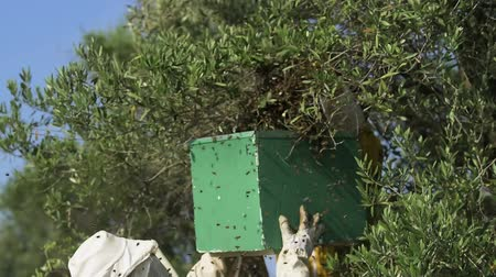 beeskeepers moving swarming bees from an olive tree branch to a polystyrene hive