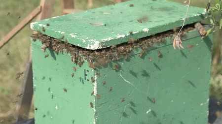хрупкость : bee swarm just moved into a polystyrene apiary