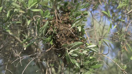 organize : Swarming bees on an olive tree branch