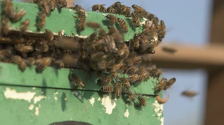 worker bees : bee swarm just moved into a polystyrene apiary