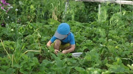 çilek : Sweet adorable little child, boy, harvesting strawberries from a backyard garden on summer house, summertime. Kid eating healthy organic homemade fresh strawberries Stok Video