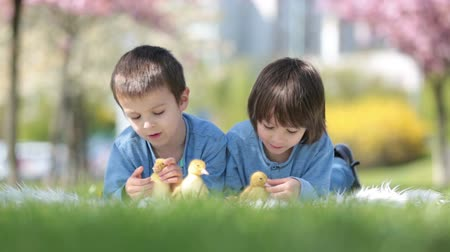 animais e animais de estimação : Cute little children, boy brothers, playing with ducklings springtime, together, little friend, childhood happiness