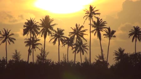 coconut palm tree : Palm trees and sunset Stock Footage