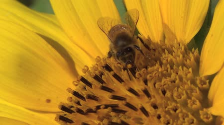 pszczoła : Honey bee working on the sunflower