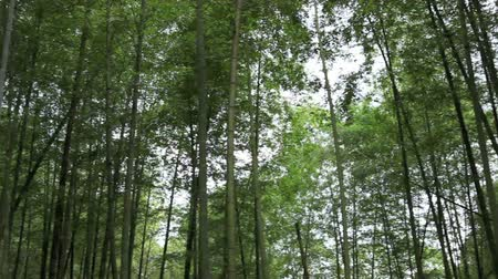 bamboo forest : Pan of Bamboo Grove Stock Footage