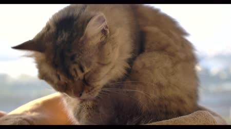 animais domésticos : Closeup cat licking and slow motion