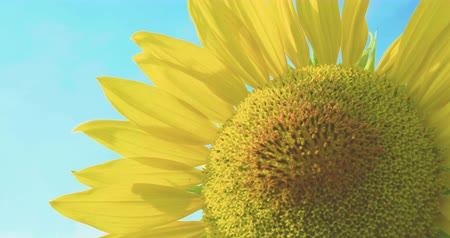 sarı : Closeup Sunflowers in the field
