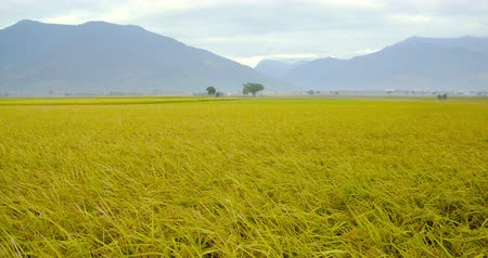 утро : Beautiful Rice Fields in taitung . Taiwan