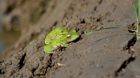 karakurbağası : Courting frog Stok Video