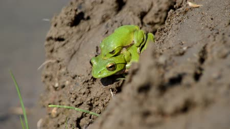 kurbağa : Courting frog Stok Video