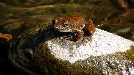 kurbağa : Frog crowing on a mountain stream stone