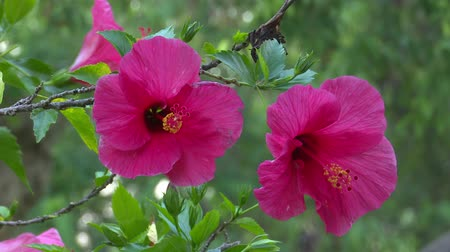 hibiscus : pink hibiscus flower in nature Stock Footage