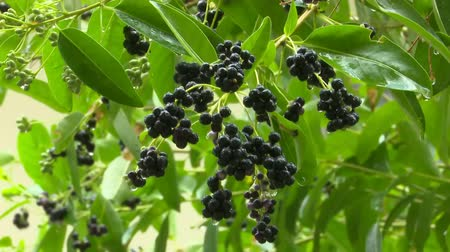 black berry fruit in agriculture garden Stok Video