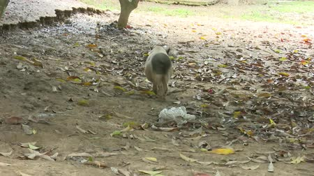 porquinho : pig walking in farm