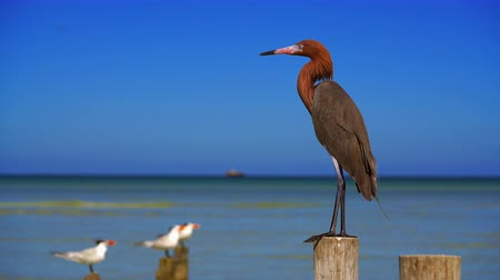 Holbox Reddish Egret heron bird in Caribbean sea of ??Mexico