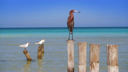 reddish : Egretta rufescens or Reddish Egret heron bird in Caribbean sea Stock Footage