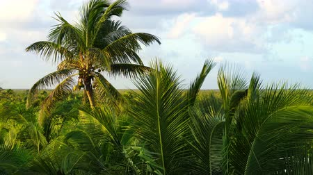 coconut palm trees jungle in Caribbean Mexico Stok Video