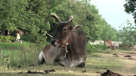 indicus : A brown Asian cow lays on a quiet farm road and chews the cud. Known as humped cattle or Indicus cattle. Taken in Thailand. Stock Footage