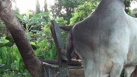 indicus : An Asian Zebu Bull (Bos primigenius indicus)is tethered to a tree outside a farm in Thailand. Close-up of the bulls head. Also known as humped cattle or Indicus cattle.